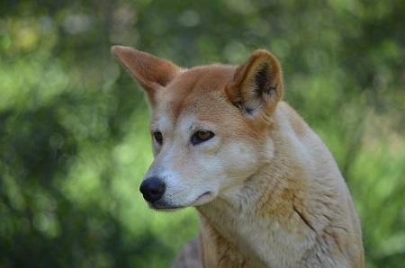 Dingoes 'potential economic benefit' to cattle graziers